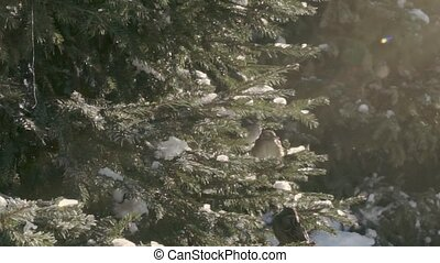 Sparrows in the fir forest. Sunny winter day.