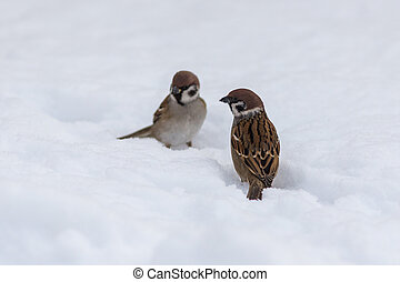 sparrows in the winter