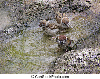 Sparrows in wash in the water