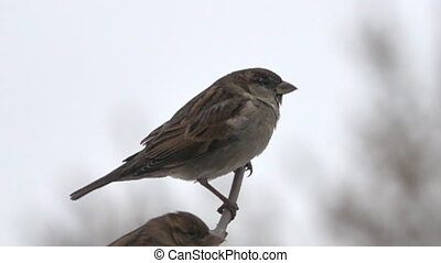 Sparrows in winter. English sparrow (Passer domesticus) as...