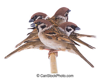sparrows isolated on a white background