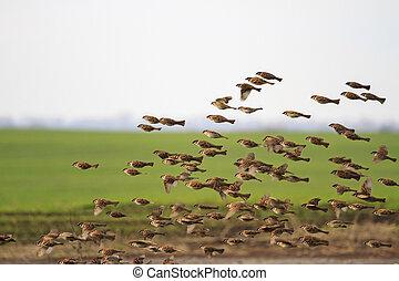Sparrows large flocks flying