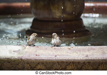Sparrows near the fountain on a hot summer day