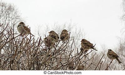 Sparrows on a bare bush, small birds
