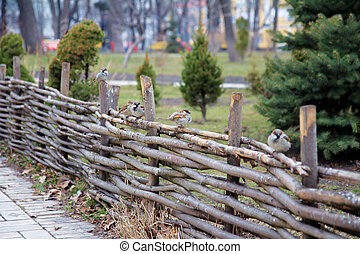 Sparrows on a wooden fence