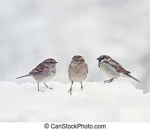 Sparrows on snow in the winter