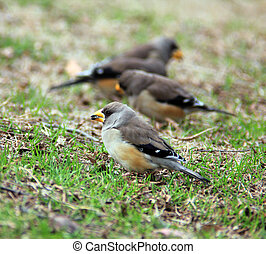 sparrows on the grass