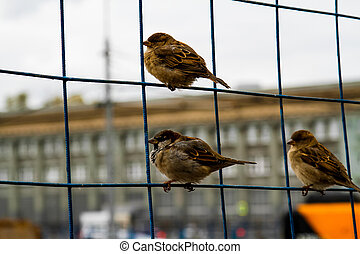 Sparrows on the net fence