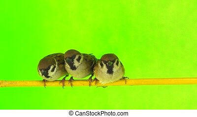 sparrows (passer) sitting on a branch on a green screen -...