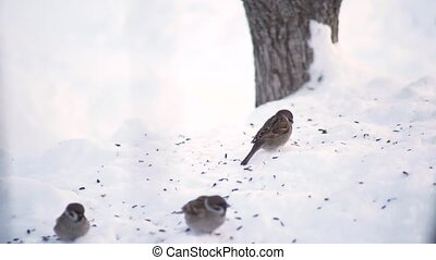 sparrows peck at the snow in winter