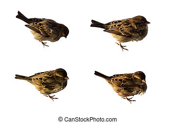 Sparrows set isolated on white