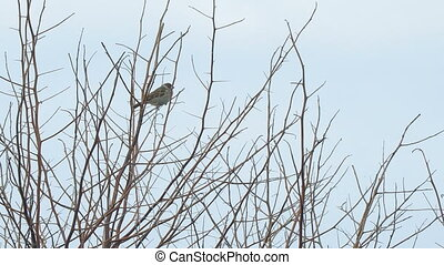 Sparrows sit on the bare branches - Sparrows sitting on the...