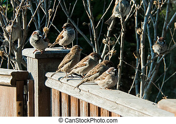 sparrows sit on the fence
