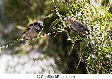 Sparrows sitting on a twig of bamboo in a garden