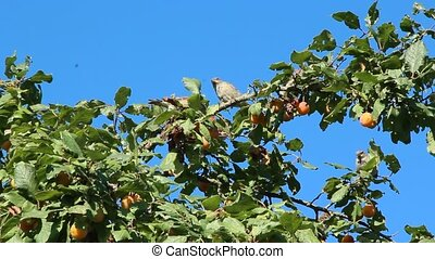 Sparrows sitting on plum tree among branches and fruits....