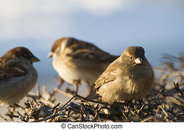 Sparrows sitting on the branches of shrubs