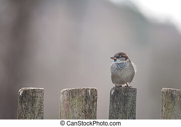 sparrows - sparrow on wooden fence closeup