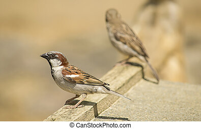 Two sparrows sitting on the roof.