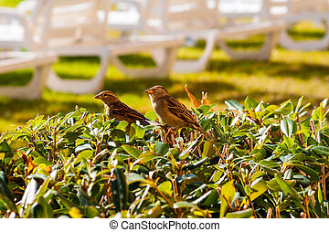 Sparrows up close on a bush