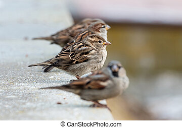 Young sparrows (Passer domesticus) in a bush