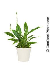 spathiphyllum, 花, 植物, 隔離された, 白