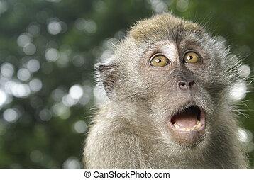 spaventato, scimmia