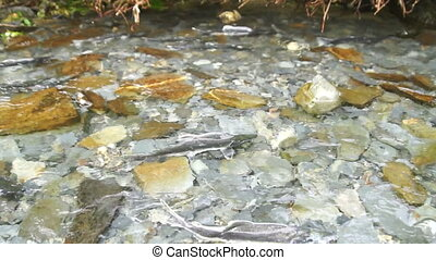 Spawning Fish Wild Salmon Swim Stream River Mating Swimming...