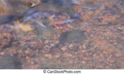 spawning of a bleak (Alburnus alburnus) - bleak spawns on...