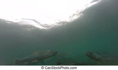Spawning  Sockeye Salmon (Oncorhynchus nerka).