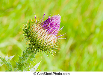 Spear Thistle closeup in the begining of the flowering