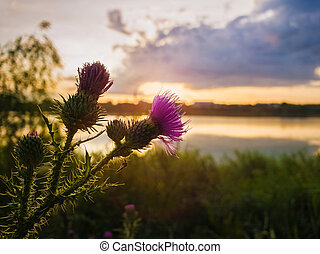 Spear thistle purple flower over sunset sky background. Cirsium vulgare, plant with spine and needles tipped winged stems and leaves