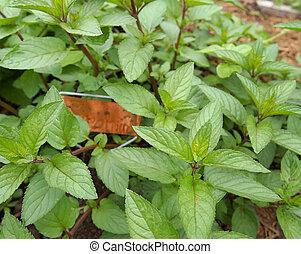 Spearmint In Herb Garden