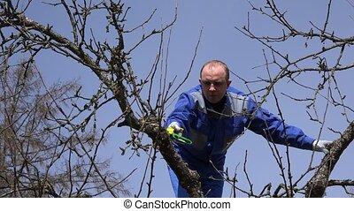 Specialist garden worker doing fruit tree cut in spring on...