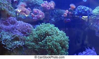 Species of soft corals and fishes, lillac aquarium under violet or ultraviolet uv light. Purple fluorescent tropical aquatic paradise exotic background, coral in pink vibrant fantasy decorative tank