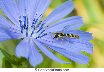 Species of wasp in search of morning moisture on the chicory flower