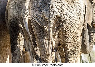 specificera, baksidaen beskådar, av, afrikansk elefant