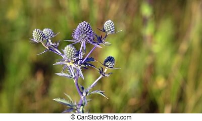 Solitary specimen of Eryngium planum in the wild, with its typical blue tint, swaying in a gentle breeze.