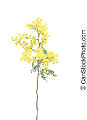 Wattle - Specimen sprig of ornamental wattle, which has...