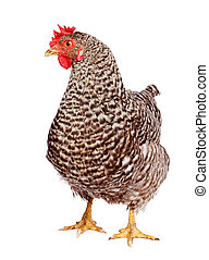 Speckled chicken on white background. Gallus gallus...