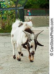 Speckled goat at the zoo