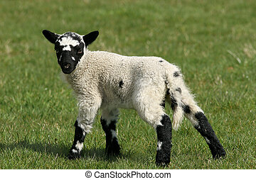 Speckled Lamb