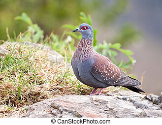 Speckled pigeon sitting on the edge of a cliff