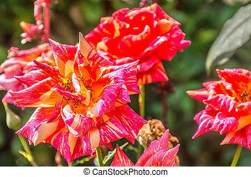 speckled rose in a garden