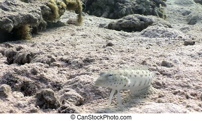 Speckled Sandperch fish is sitting motionless on seabed...