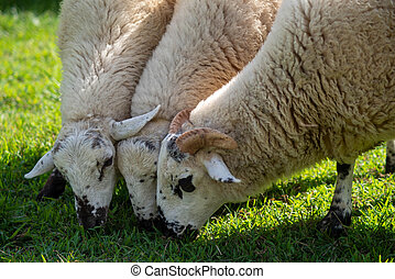 Speckled sheep grazing in green grassy field.