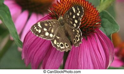 Speckled Wood butterfly on echinacea purpurea - dorsal view - close up