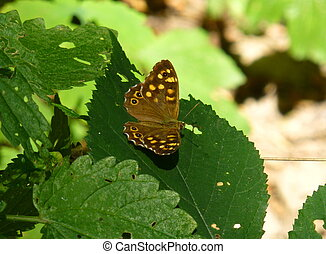 Speckled wood butterfly sitting on the leaf