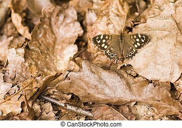 Speckled wood on dead leaves