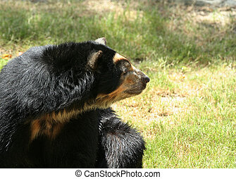 Spectacled Bear Looking Side - spectacled side looking to...