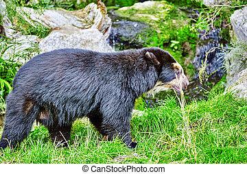 spectacled,  natural,  habitat, oso, su